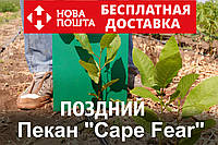 """Пекан орех саженец сорт """"Cape Fear"""" ( поздний) кария саджанці горіх карія Carya illinoinensis (однолетний)"""