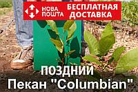 Пекан орех саженец сорт Columbian (поздний) кария саджанці горіх карія Carya illinoinensis (однолетний), фото 1