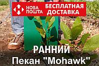 """Пекан орех саженец сорт """"Mohawk"""" (ранний) кария саджанці горіх карія Carya illinoinensis (однолетний)"""