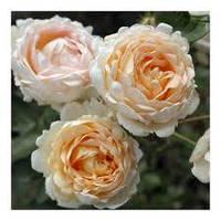 Троянда плетиста Олд Голд Old Gold 1-річний вегетуючий саджанець