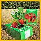 Полуниця на підвіконні, Диво-ягодница Казковий збір, фото 6