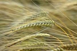 Семена ярового ячменя сорт КВС Данте