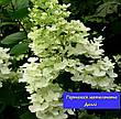Ароматная Гортензія метельчата Доллі (Hydrangea paniculata Dolly) в конт.5л, фото 3