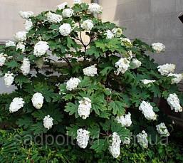 Гортензия дуболистная Снежинка /Hydrangea querc. 'Snow flake'/, фото 3