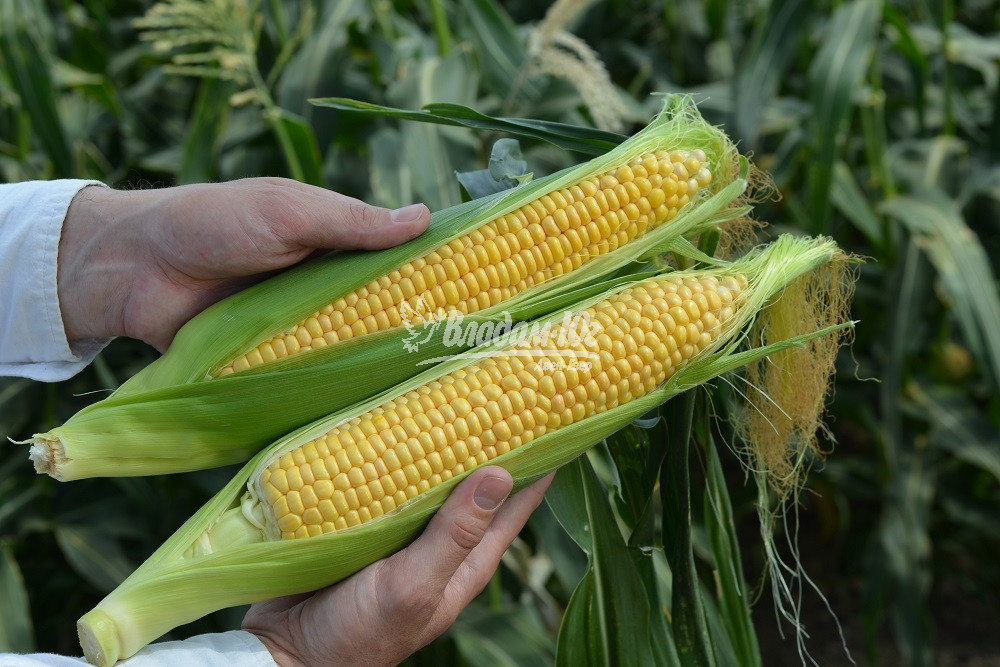Семена сахарной кукурузы Лискам F1, 5000 семян, Clause
