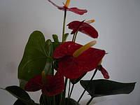Антуриум красный (40см.)