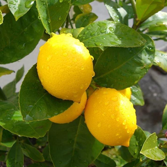 "Лимон ""МЕЙЕРА"" / Китайский Лимон (Однолетний, ОКС) / Саженцы"