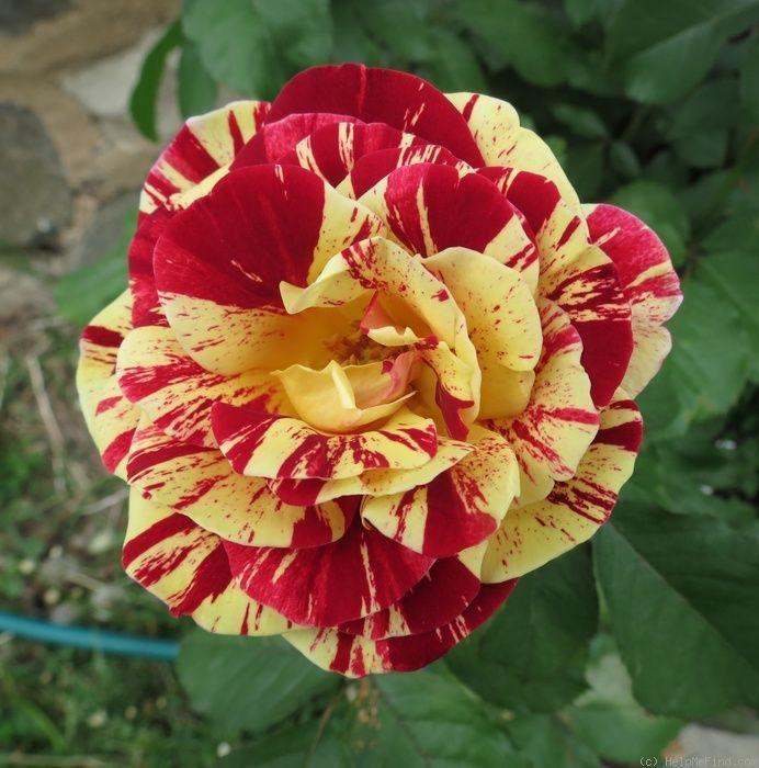Роза флорибунда Папарацци