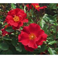 Роза почвопокровная Кентрупер (бабочка)