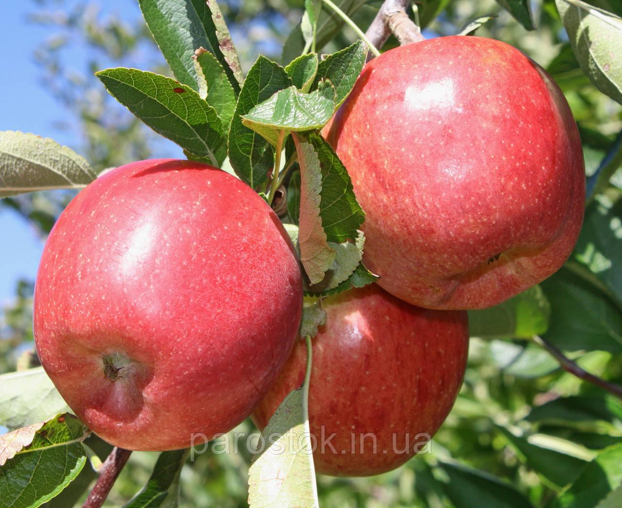 Яблоня Бребурн Ред Филд. (Б7-35). Зимний сорт