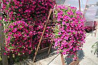 Семена Петуния ампельная Изи Вейв F1 Неоново-Розовая  50 драже Pan American