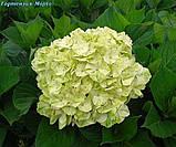 Гортензія волотиста Mojito (Мохіто) горш. 1.5, фото 2