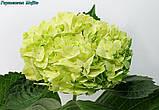Гортензія волотиста Mojito (Мохіто) горш. 1.5, фото 4