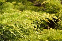 Ялівець середній Pfitzeriana Aurea 2 річний, фото 3