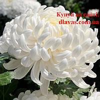 Хризантема крупноцветковая срезочная белая БИСЛЕТ (Bislet white)