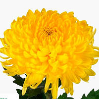 Хризантема крупноцветковая срезочная  БИСЛЕТ ЖЕЛТЫЙ (Bislet Yellow)