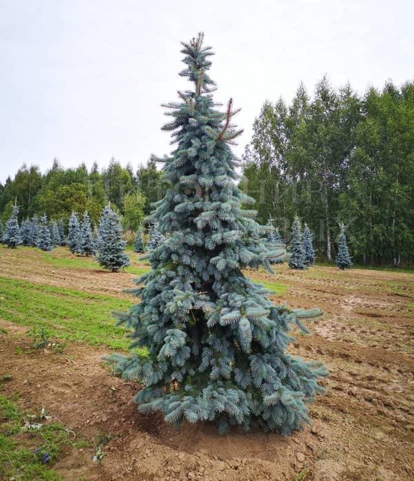 Picea pungens Schovenhorst