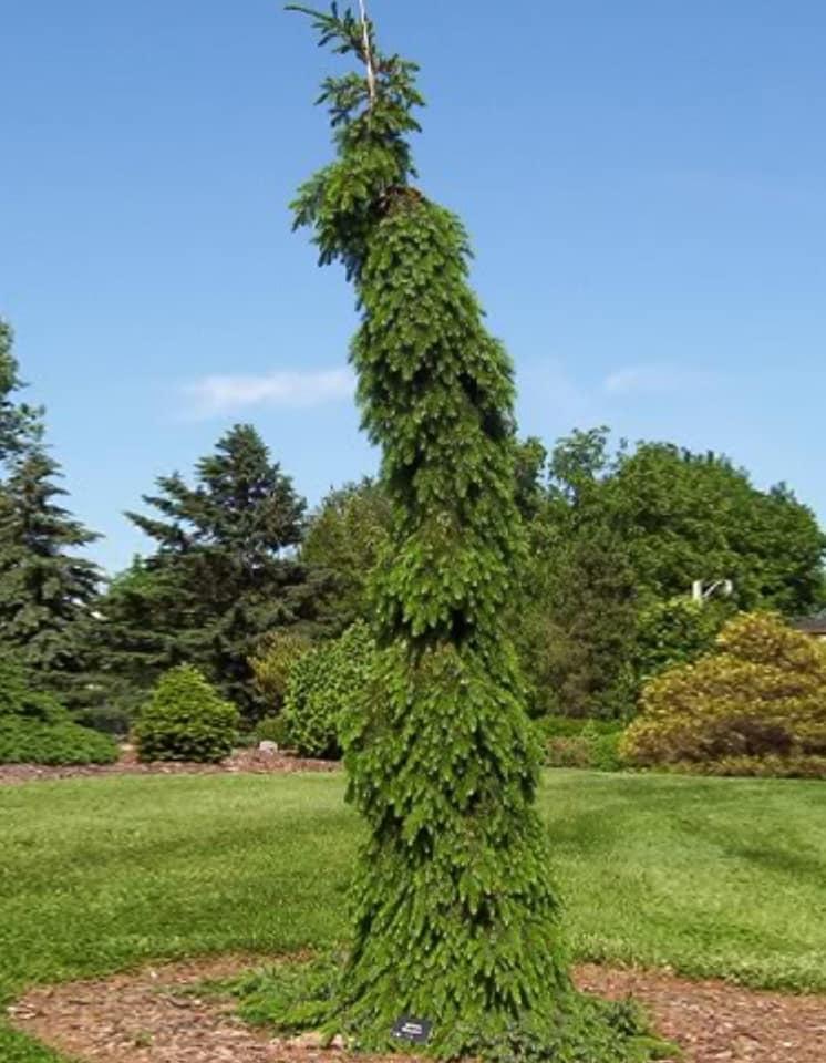 Picea omorika Pendula Bruns