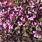 Вейгела Нана Пурпуреа\Weigela florida Nana Purpurea, фото 2