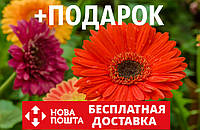 Гербера садовая семена (10 шт) цветы Gerbera