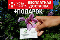 Гибискус древовидный семена (10 штук) для саженцев, Hibíscus syríacus садовый сиреневый гібіскус насіння