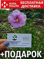 Гибискус махровый двухцветный семена (10 шт) сирийский, древовидный, садовый, Hibíscus syríacus многолетние