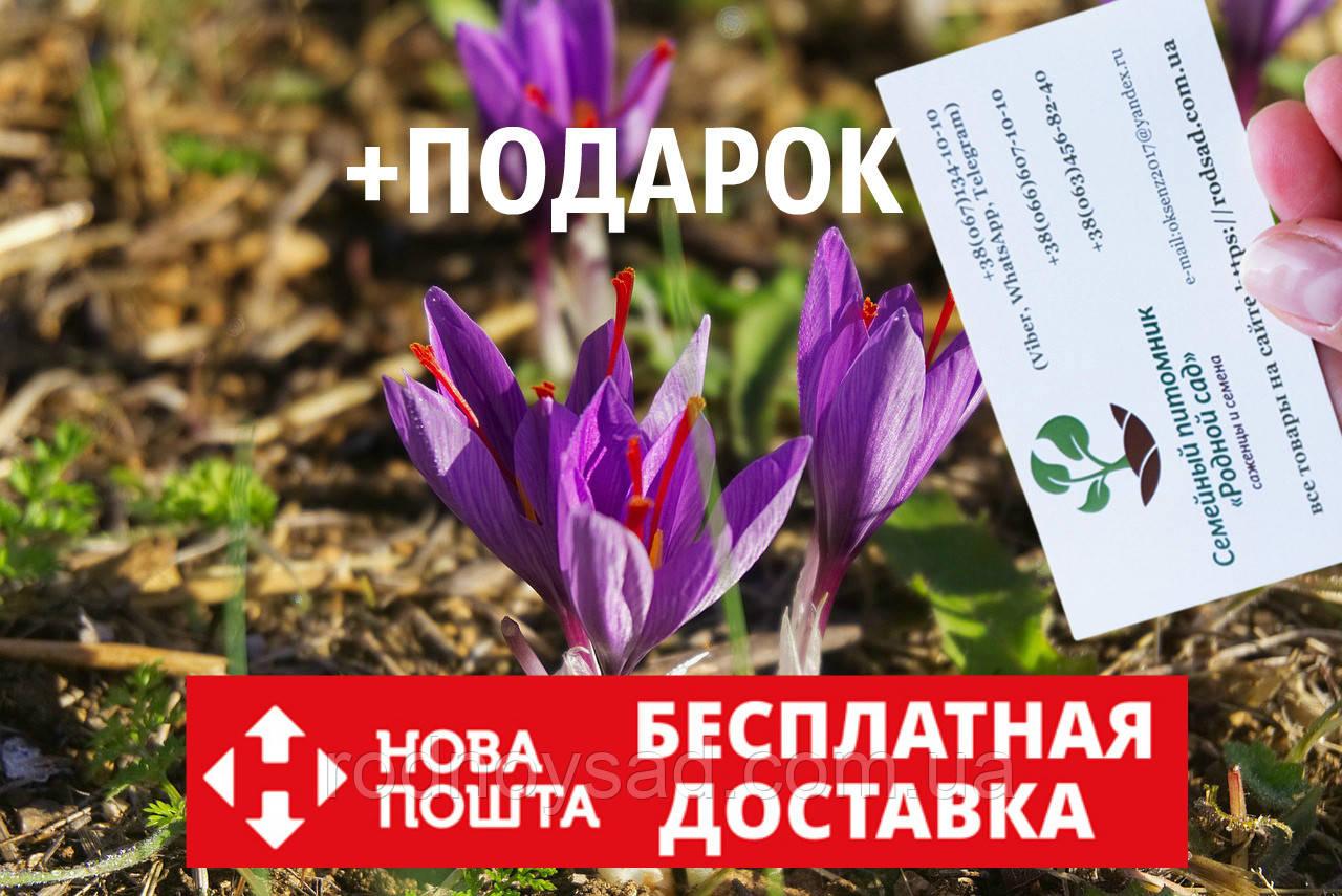 Шафран посевной луковицы 10 штук (шафрановый крокус семена) Crocus sativus + инструкция + подарок