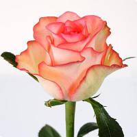 Роза Джумилия 70см