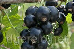 Смородина черная Бен ломонд (средне-поздняя)