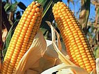 Семена кукурузы Солонянский 298 СВ (ФАО 290)