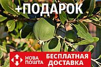 Фейхоа семена (10 шт) косточки семечки для саженцев насіння на саджанці (Ácca sellowiána)