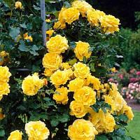 Троянда плетиста Golden Showers Голден Шоуерс 2-річний садженець