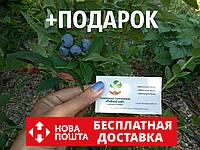Голубика семена (10 штук) Vaccínium uliginósum насіння лохини, косточка, семечка для саженцев + инструкция