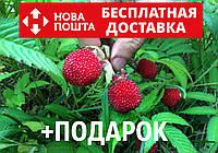 Малина мяо-мяо семена 10 шт тибетская розолистная Rúbus rosifólius для саженцев, фото 1