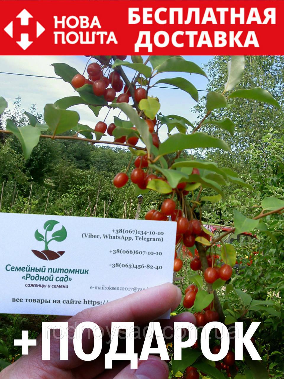 Гуми (лох многоцветковый) семена (10 штук) Elaeagnus multiflora для саженцев насіння на саджанці + подарок