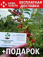 Гуми (лох многоцветковый) семена (10 штук) Elaeagnus multiflora для саженцев насіння на саджанці + подарок, фото 1