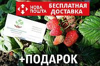 "Клубника ""Чудо мира"" семена (20 шт) земляника, полуниця насіння  + инструкция + подарок"