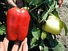 Перец Никита F1 10 семян