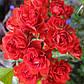 Роза почвопокровная Скарлет Мейяндекор, фото 2
