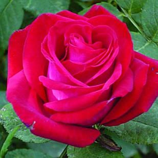 Саженцы чайно-гибридной розы Экскалибур (Rose Excalibur)
