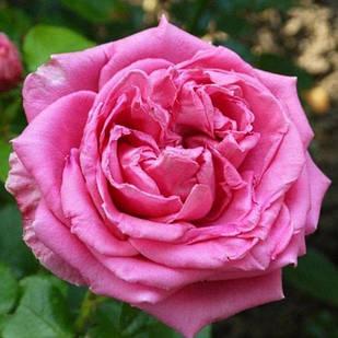 Саженцы чайно-гибридной розы Август Ренуар (Rose Auguste Renoir)