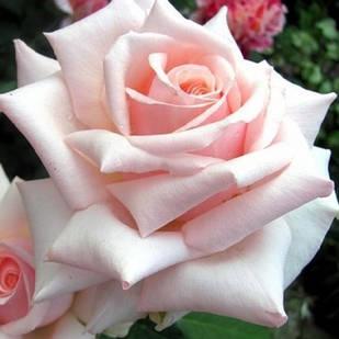 Саженцы чайно-гибридной розы Барбадос (Rose Barbados)