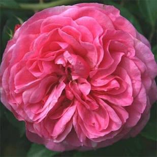 Саженцы чайно-гибридной розы Баронесса (Rose Baronesse)