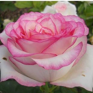 Саженцы чайно-гибридной розы Белла Вита (Rose Bella Vita)
