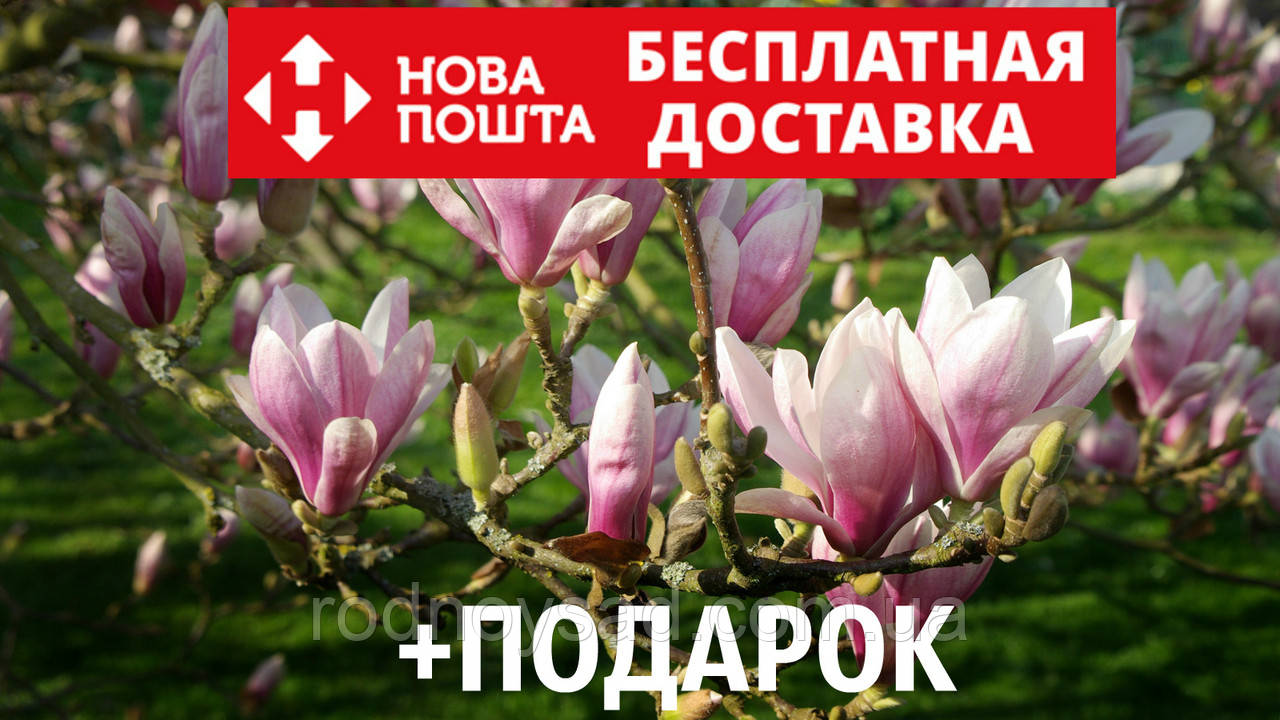 Магнолия Суланжа семена 10 шт (Magnolia soulangeana) для саженцев насіння магнолія на саджанці