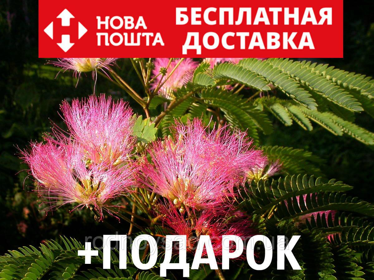 Альбиция ленкоранская семена 10 шт (Albizia julibrissin) шёлковая акация для саженцев насіння на саджанці