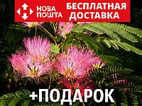 Альбиция ленкоранская семена 10 шт (Albizia julibrissin) шёлковая акация для саженцев насіння на саджанці, фото 1