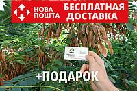 Акация белая семена(20шт)Robínia pseudoacácia робиния лжеакация для саженцев(насіння для саджанців)+инструкция, фото 1