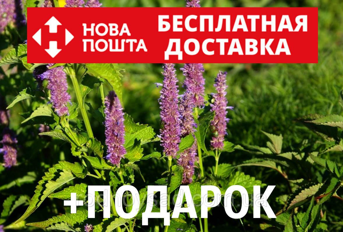 Лофант анисовый семена 10 шт Многоколосник фенхельный Agastache foeniculum насіння + инструкции