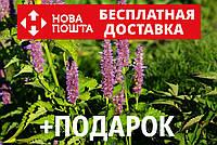 Лофант анисовый семена 10 шт Многоколосник фенхельный Agastache foeniculum насіння + инструкции, фото 1